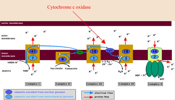 cytochrome-c oxidase